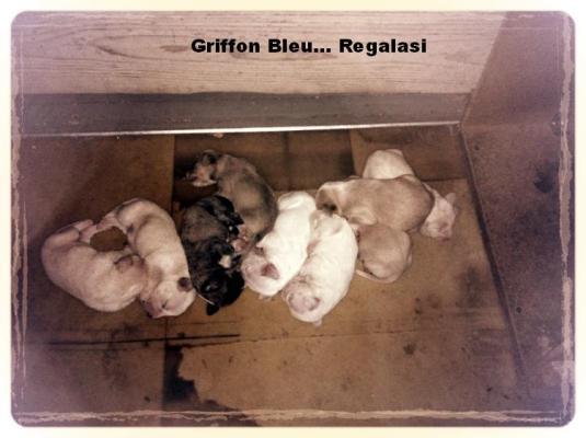 Ragalasi cuccioli - Griffon Bleu